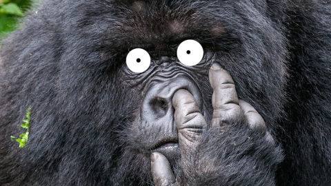 Why do gorillas have such big nostrils? Because they have such big fingers!